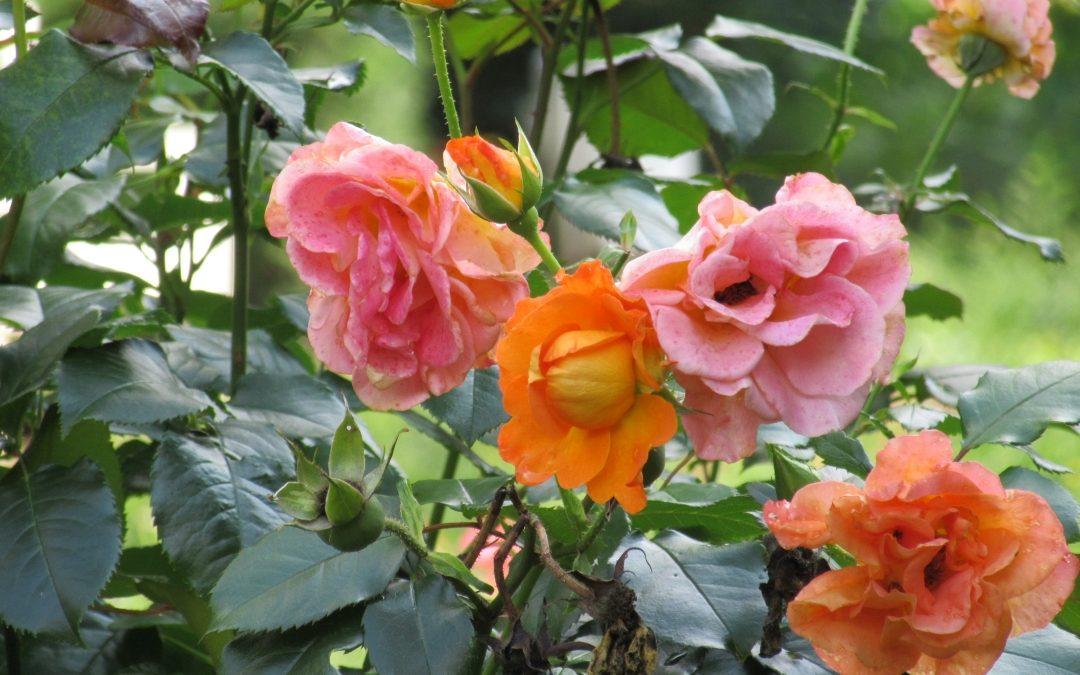Smalltalk aus dem Rosengarten IV