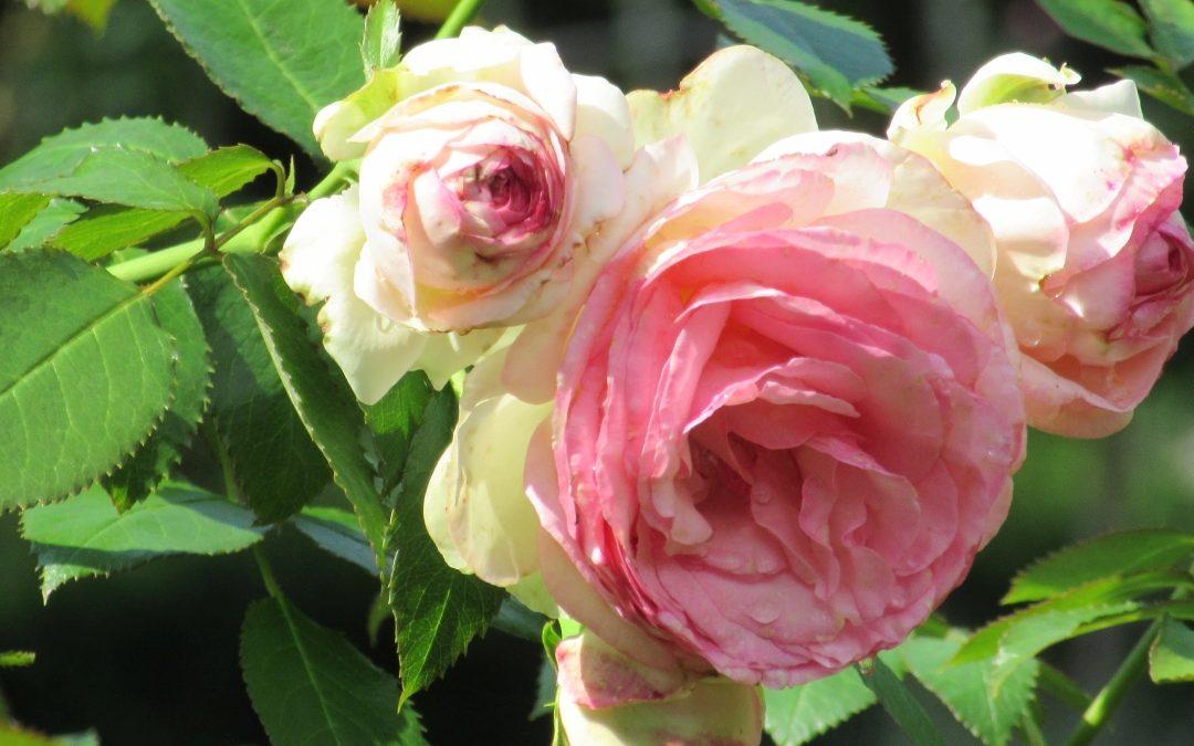 Smalltalk aus dem Rosengarten III
