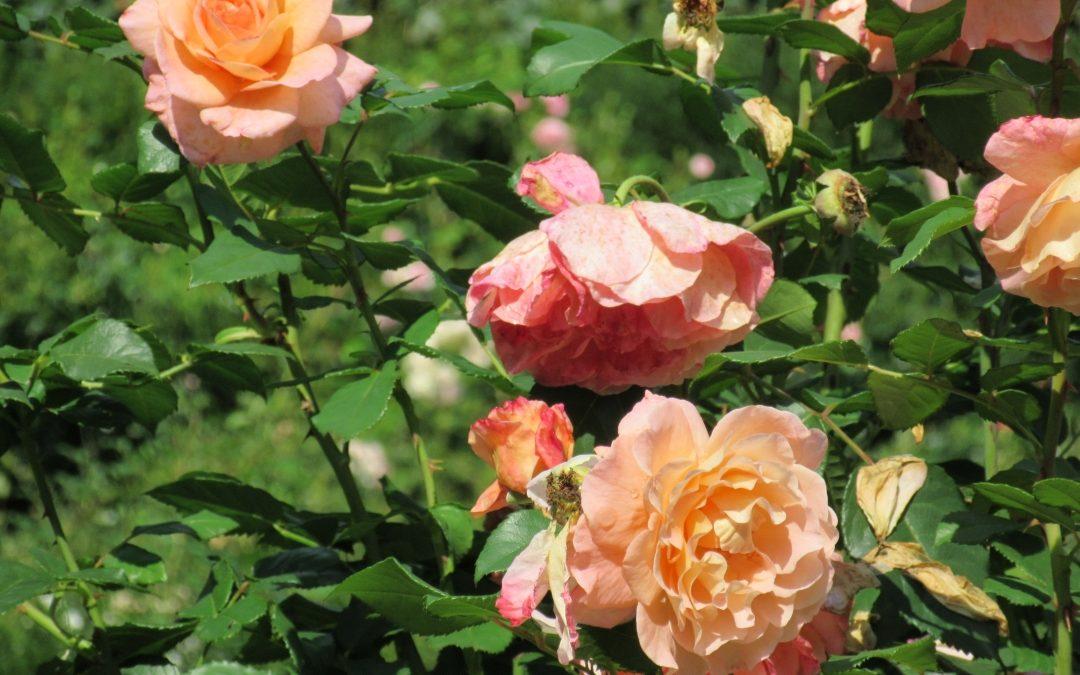 Smalltalk aus dem Rosengarten II