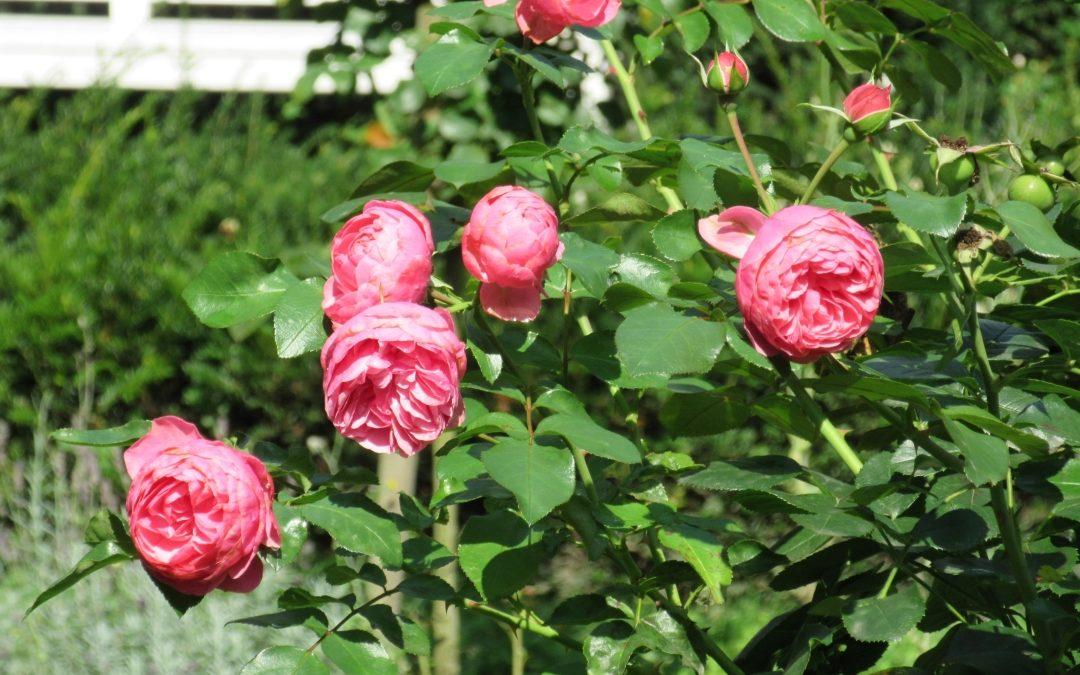 Smalltalk aus dem Rosengarten I